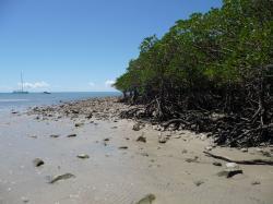 die Mangroven wachsen bis an den Ozean